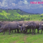 โปสการ์ด ควายไทย /สัตว์ต่างๆ