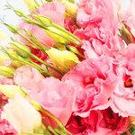 ดอก Pink Eustoma Seeds / 20 เมล็ด