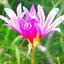 ดอก Blue Pink Lycoris Seeds / 20 เมล็ด thumbnail 2